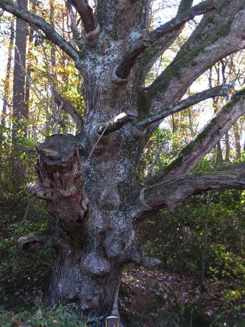 The trunk of the Witch's Tree
