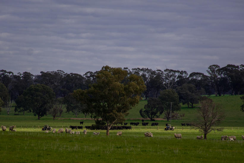 Quietly Walking the Cattle