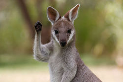Wallaby Wave