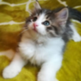 【ご家族さま募集中】_肩で寝る猫😸_ギルフォードくんのお引越し先を募集していま
