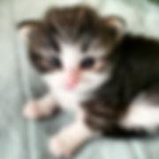 Petit ChouChou - ノルウェージャンフォレストキャットキャッテリーの子猫写真集