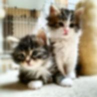 petit-chouchouにいるノルウェージャンの子猫画像