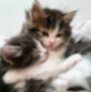 petit-chouchouにいるノルウェージャンの子猫