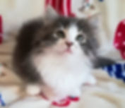 ノルウェージャンフォレストキャットの子猫、モネちゃん