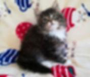 ノルウェージャンフォレストキャットの子猫、クロエちゃん