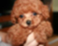 Petit ChouChou - ノルウェージャンフォレストキャットキャッテリーの子犬情報