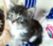 ノルウェージャンフォレストキャットの子猫情報