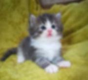 norwegian-kitten2.jpg