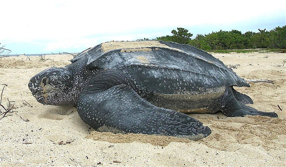 Leatherback_sea_turtle_Tinglar,_USVI_(58