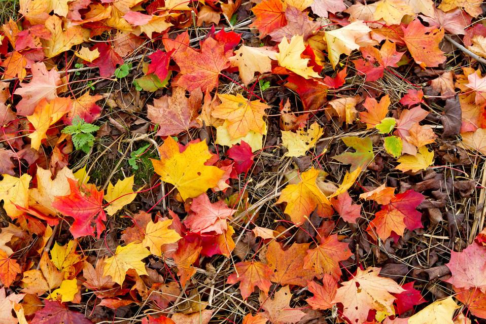Herbstlaub neu bb 12.jpg