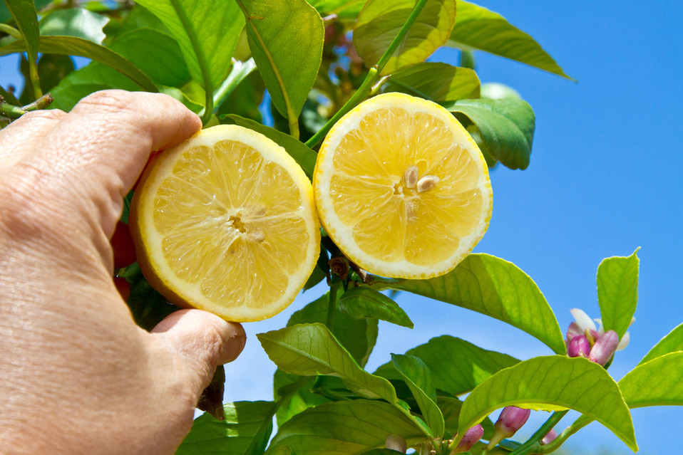 Zitronen Mallorca Hand 15.jpg