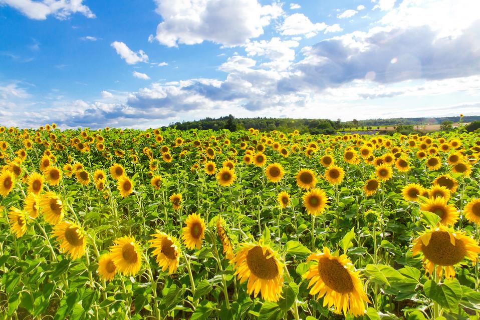 Sonnenblumenfeld Weite 15.jpg