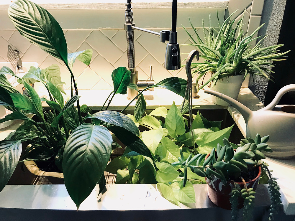 Houseplants for clean air | Sunkissed Botanics Blog