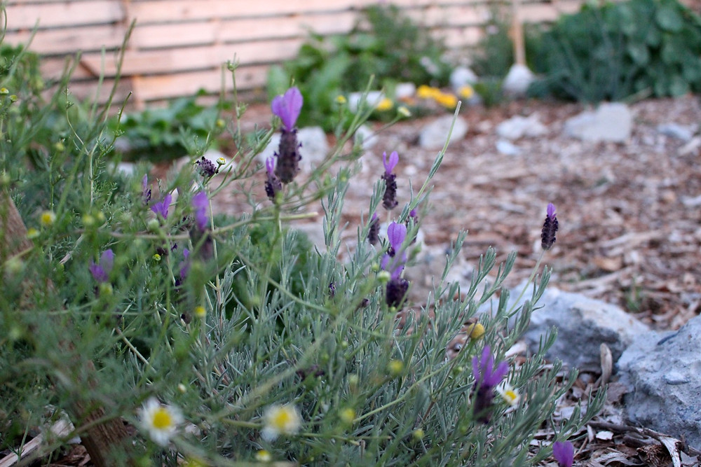 Chamomile & lavender in the garden // Sunkissed Botanics