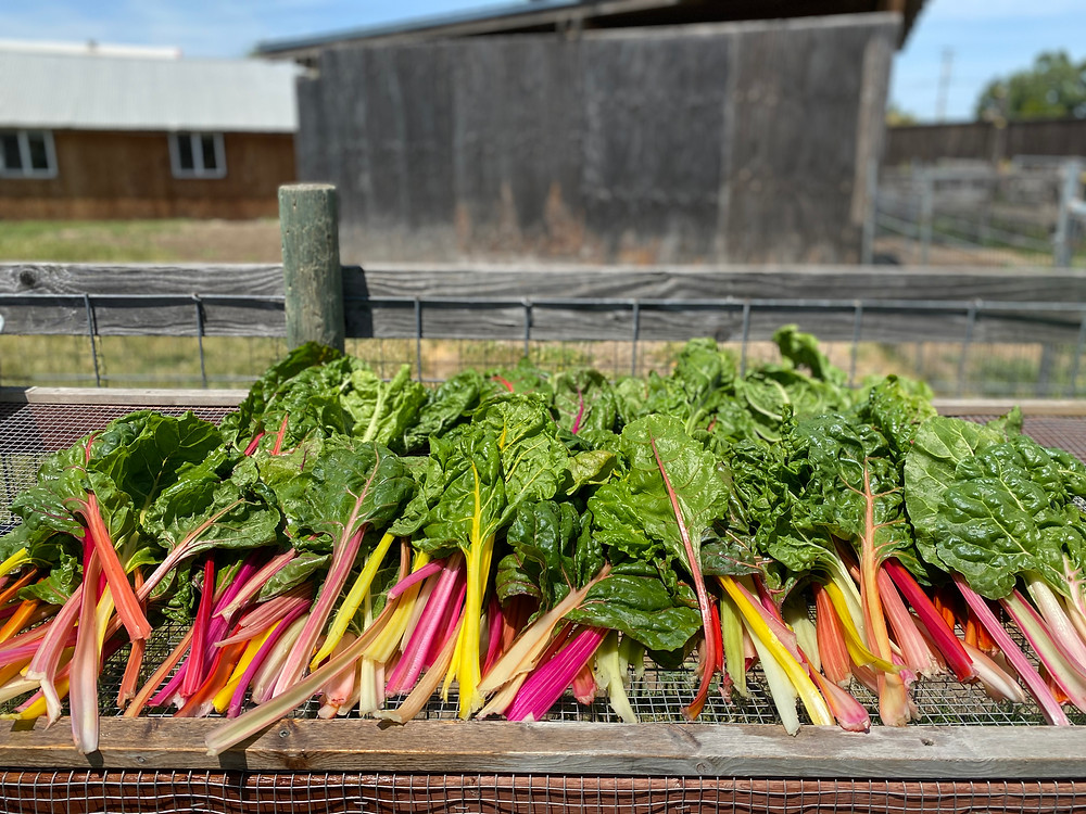 Rainbow Chard Nourish Farm Turlock