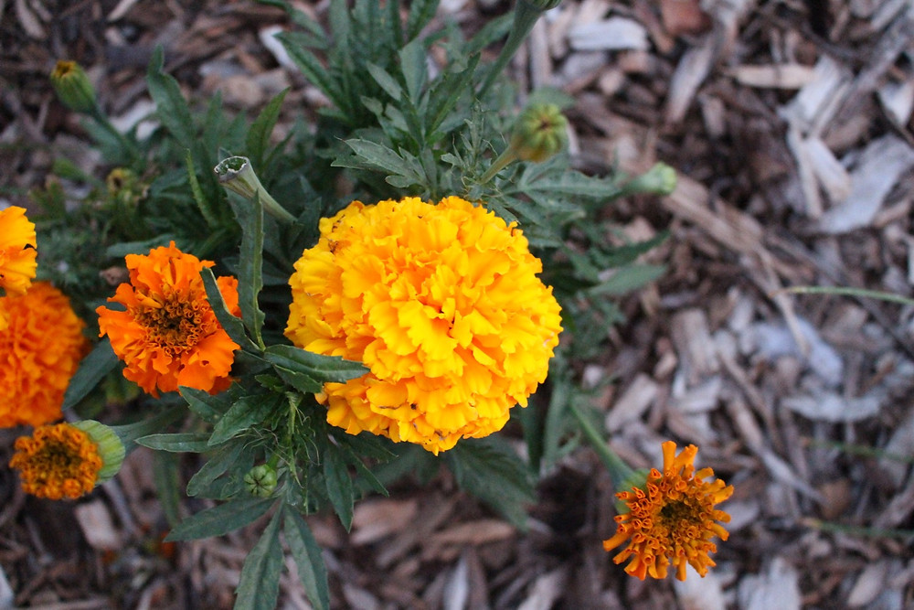 marigold in the garden for pest control // Sunkissed Botanics