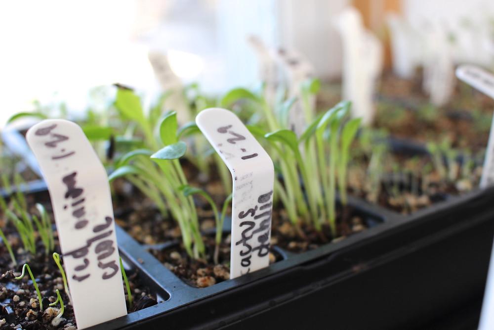 Heirloom seed starting // Sunkissed Botanics Blog