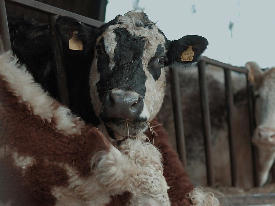73-Cows.jpg