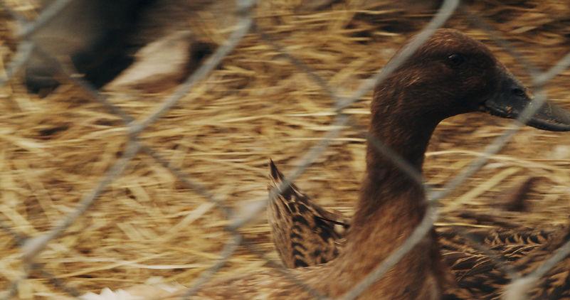duck_3.jpg