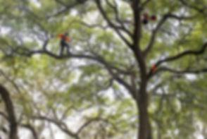 Professional Tree Climbers
