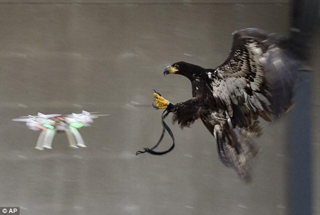 Eagle vs DJI Phantom UAV, Drone