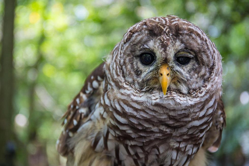 barred owl .jpg