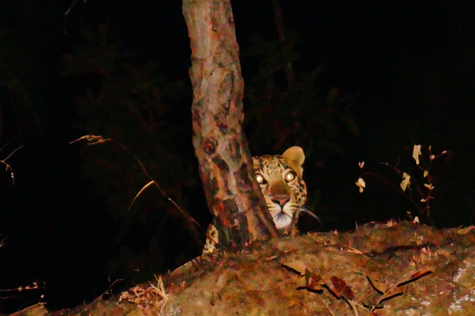 Leopard of Binsar