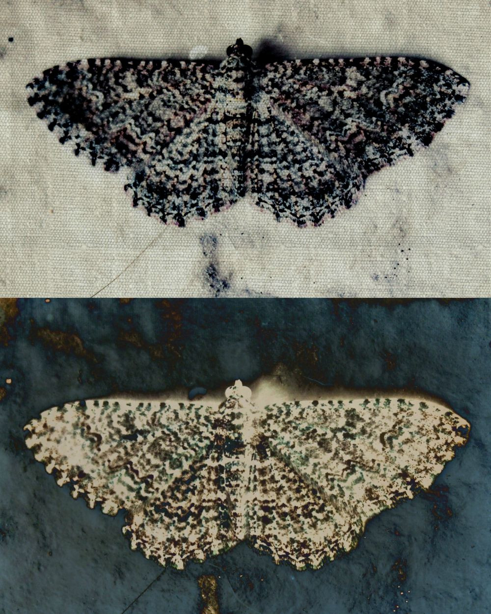 Moth Lace - Urban Natural Designs handcrafted artwork