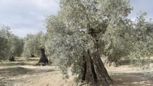 s.o.s del olivo Lucio.