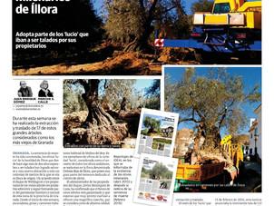 Asociación Argentata participa en la salvación de 17 olivos Lucios centenarios.