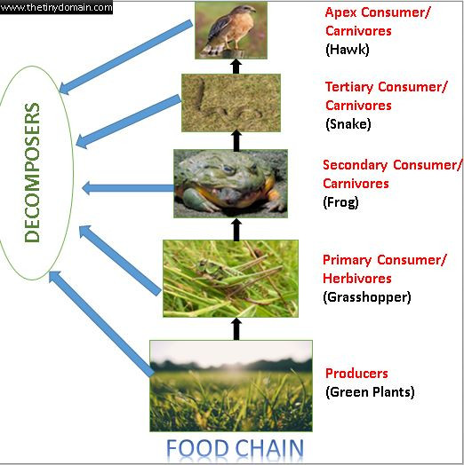Food Chains And Food Webs The Tiny Domain A Domain For