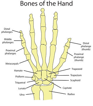 hand bones, anatomy, massage