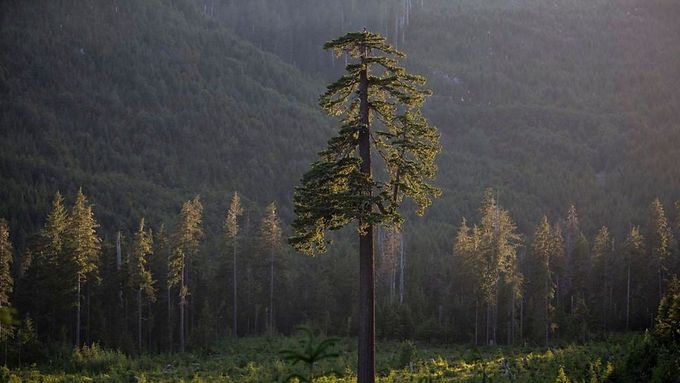 Vancouver Island MP says owl sighting means old growth logging should be stopped