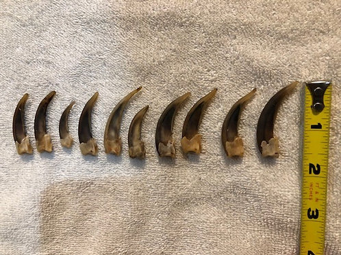 """10 Mixed Badger Claws 1.25-2"""""""