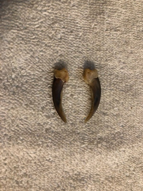 Matching Pair Small Badger Claws 1.25-1.5""