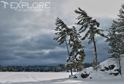 Windswept Winter Pines
