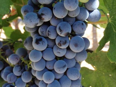 Gosta da uva Marselan? Separamos 3 vinhos excelentes que você deve provar