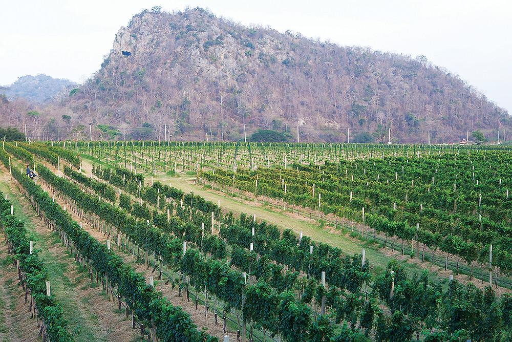 Em Khao Yai, no vale Asoke, encontram-se os vinhedos da vinícola