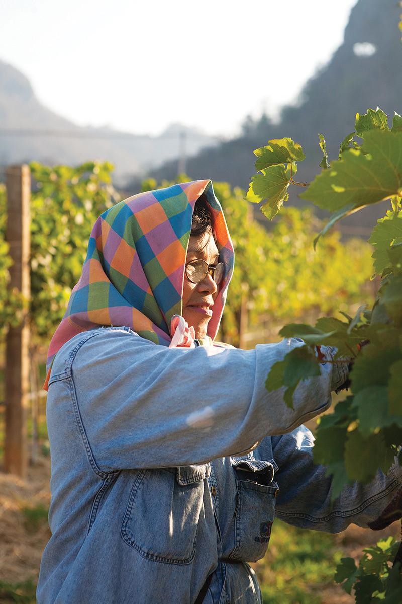 Colheita de Syrah na vinícola GranMonte