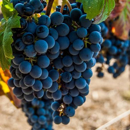 10 sugestões de Malbec brasileiro para beber hoje! Saiba mais sobre essa uva tinta