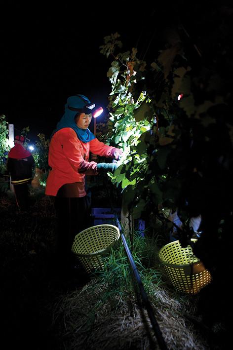 Colheita manual noturna na GranMonte, com temperaturas ao redor de 17ºC