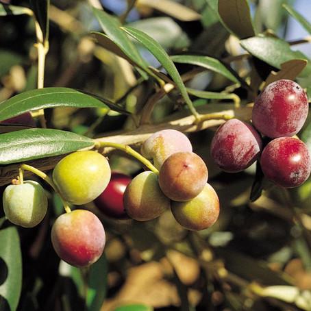 As principais variedades de azeitonas e suas características