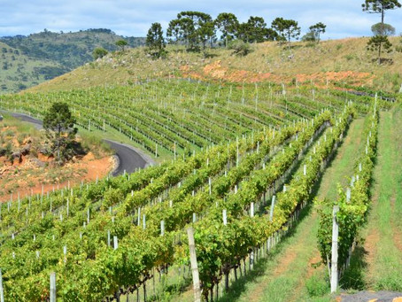 Vinhos de Altitude de Santa Catarina conquistam Indicação Geográfica