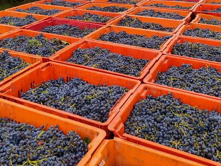 Colheita da uva Marselan encerra a maior vindima da história da Nova Aliança