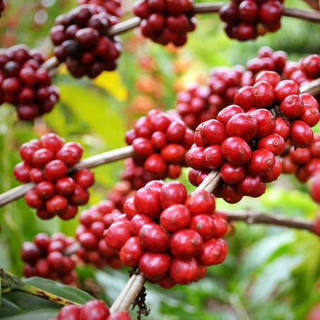 Café arábica e café robusta. Entenda as diferenças
