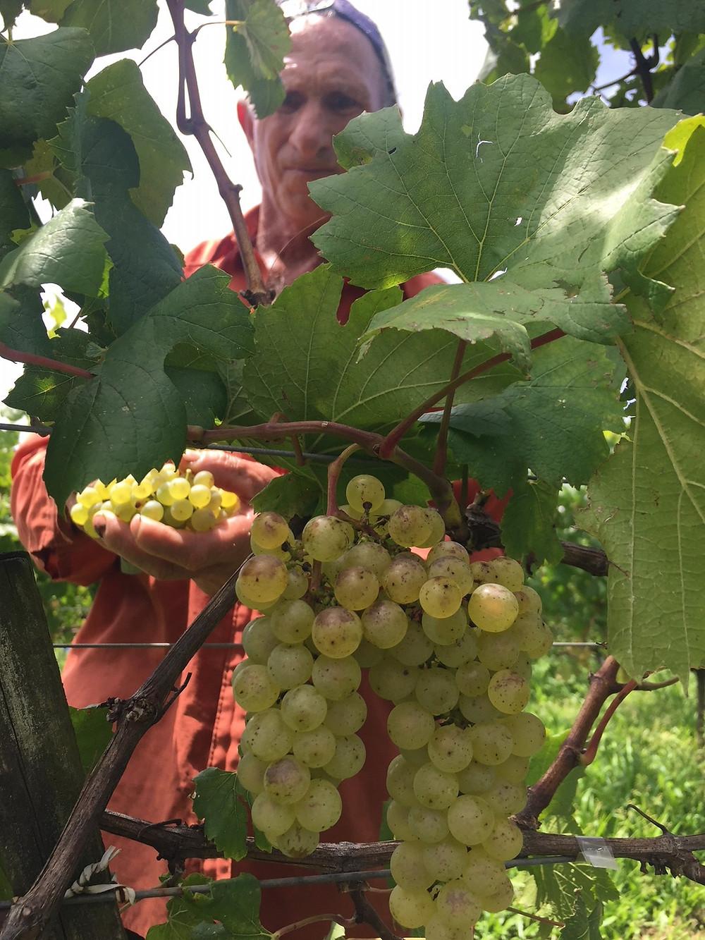 Moscato branco, Merlot e Chardonnay (variedade da foto) foram as variedades que apresentaram maior produtividade nesta safra, entre as Vitis viniferas, e Bordô e Niágara branca, entre as americanas e híbridas