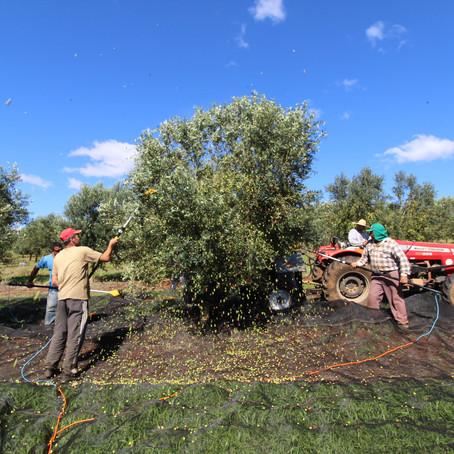 Safra 2021 de oliveiras traz boas expectativas aos produtores