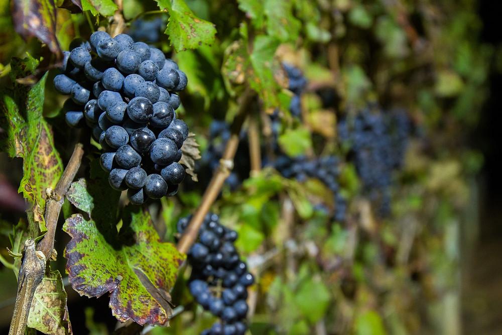 O visitante colherá a uva fina Cabernet Franc Foto/Renato Galvão