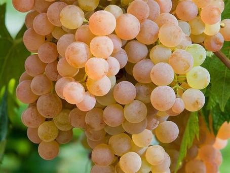 Já ouviu falar da uva Garganega? Tem vinícola brasileira que faz vinho com ela!