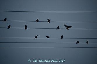 The Editorial Suite Blackbirds